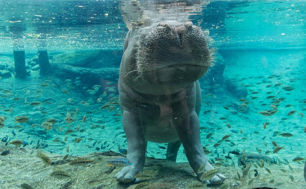 Baby Underwater Hippo